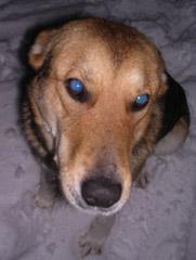 blue eye in dog's photo