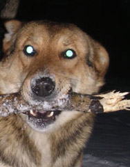 green eye in dog's photo